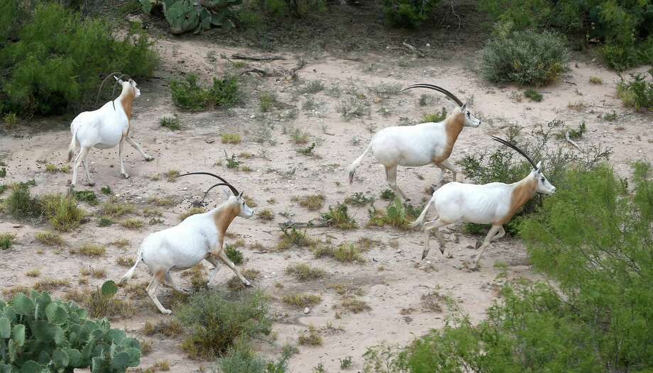 "Scimitar-horned oryx on Carlos ""CY"" Benavides' property run from the sound of a helicopter during an aerial tour July 27, 2016, provided by Benavides to show the media the site on his land where he is proposing to build one of the state's largest landfills. It would take up 953 acres, with actual garbage disposal on 660 acres. Benavides raises endangered African wildlife on the more than 12,000-acre property. Photo: William Luther /San Antonio Express-News / © 2016 San Antonio Express-News"