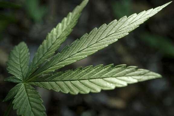 The U.S. Drug Enforcement Administration announced that marijuana will remain a Schedule 1 drug. (Randall Benton/Sacramento Bee/TNS)