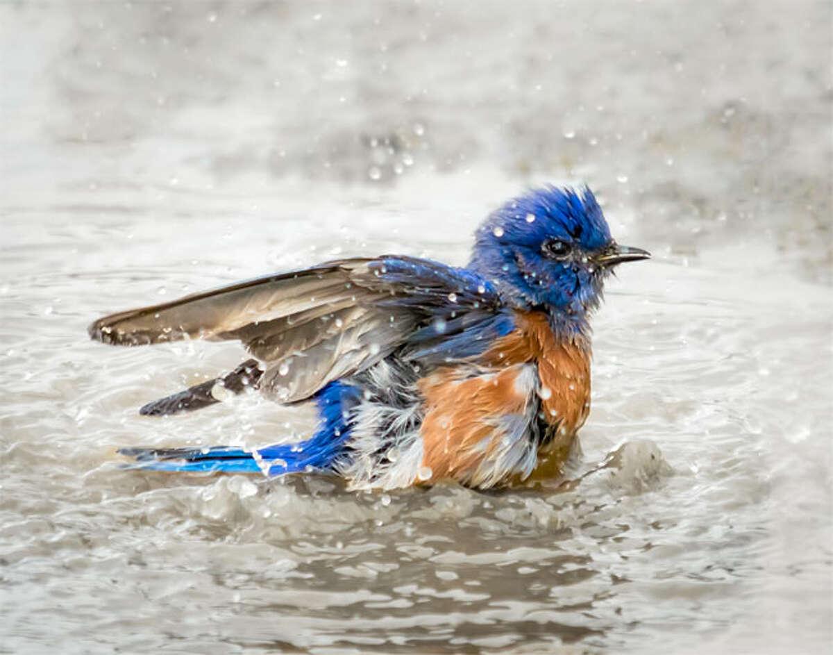 2015 Best California birds: bluebird bathing