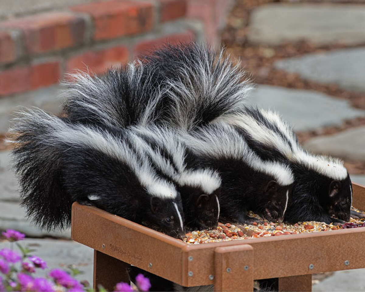 2015 People's choice award: four baby skunks in the back yard