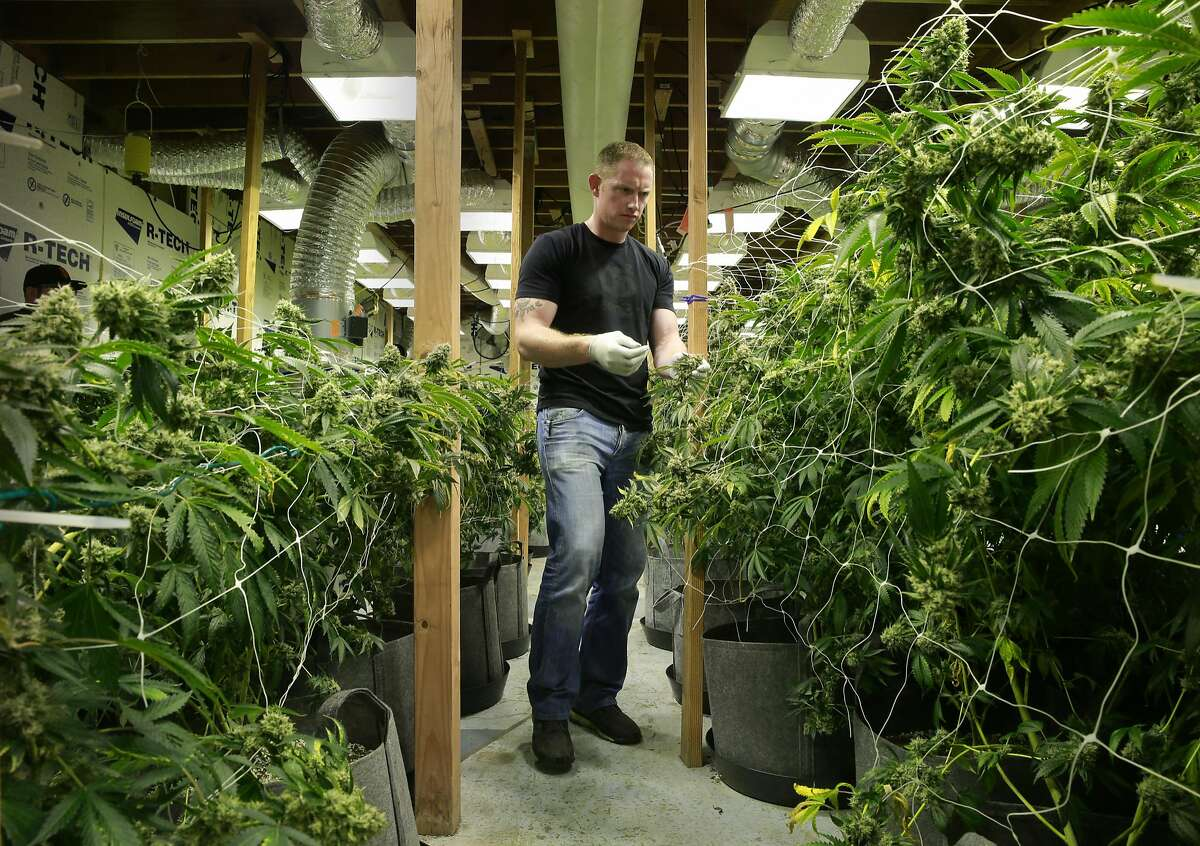 Medical cannabis grower Aaron Flynn tends to some of his 500 plants in San Francisco, California, as seen on Wed. Aug. 3, 2016. Flynn is part of the medical cannabis industry of growers who are cultivating plants in San Francisco.