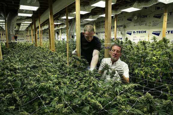 Medical cannabis grower Aaron Flynn, (left) tends to some of his 500 plants along with the chairman of the Cannabis Legalization Task Force in San Francisco, California, as seen on Wed. Aug. 3,  2016. Flynn is part of the medical cannabis industry of growers who are cultivating plants in San Francisco.