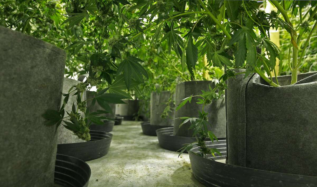 Potted medical cannabis plants being grown by Aaron Flynn, some of his 500 plants in San Francisco, California, as seen on Wed. Aug. 3, 2016. Flynn is part of the medical cannabis industry of growers who are cultivating plants in San Francisco.