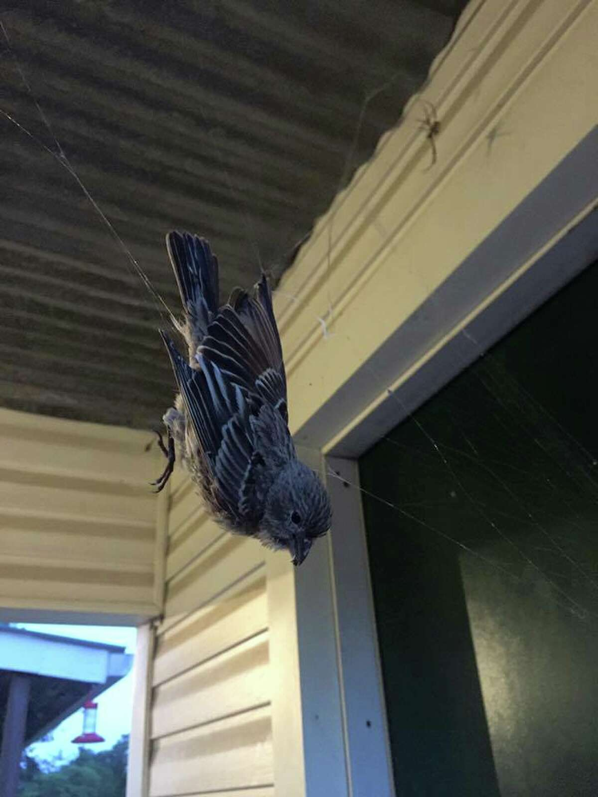 Giant spider's web catches bird at Texas state park A black and yellow spider trapped a house finch in its web, making for an interesting photo Texas Parks and Wildlife shared to their Facebook on Aug. 11, 2016. While birds typically prey on the large spider, the spider seemed to have the upper hand this time around.