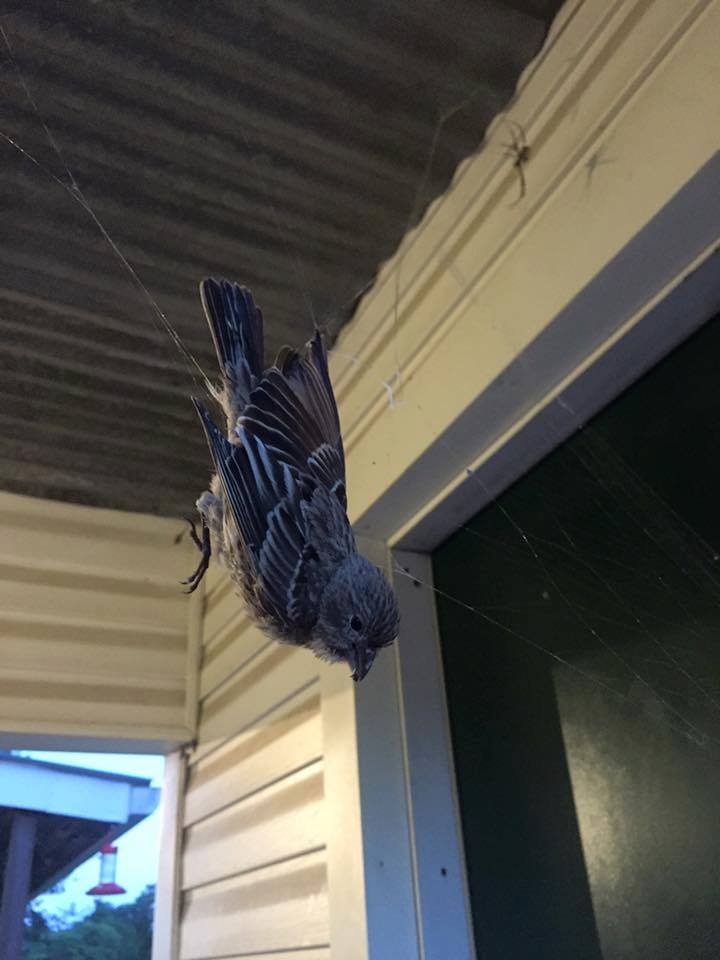 Photos Giant spider\u0027s web catches bird at Texas state park