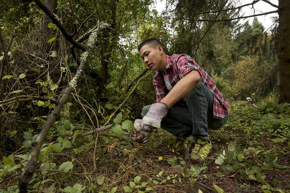 "Tim Wong, a San Francisco Botanical Garden Butterfly Habitat Volunteer, works in the California Native Garden to improve the habitat of the California Pipevine Swallowtail, a locally-rare butterfly native to the area on Friday, August 5, 2016 in San Francisco, Calif. ""What I really like is to raise awareness that we have these really beautiful incredible animals and native plants that are worth preserving even in a developed environment like San Francisco,"" said Wong."