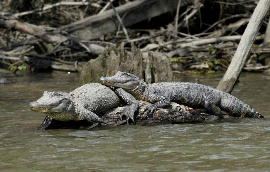"""Texas' alligator population continues thriving, with as many as a half-million or more of the reptiles living in the 22 mostly-coastal counties considered the reptiles' """"core"""" habitat and where the annual alligator hunting season opens Sept. 10. Photo: Shannon Tompkins /Houston Chronicle"""