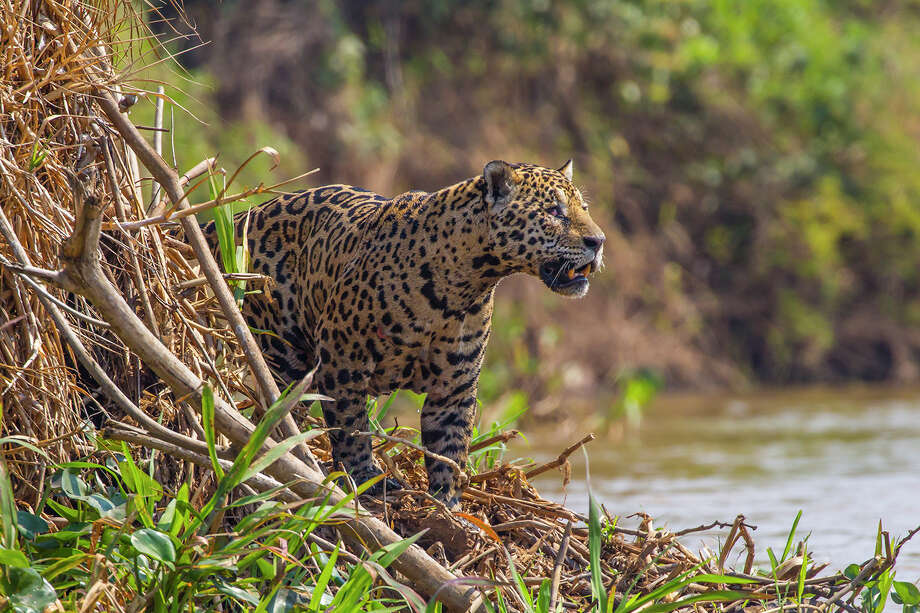 "Jaguars, which can be found in New Mexico and, sometimes, Texas as well as Mexico. ""They seem to be returning to the area,"" said Tim Keitt, a University of Texas biology professor. ""This would certainly be the type of animal a fence would interfere with."" Photo: Kathy Adams Clark / Kathy Adams Clark/KAC Productions"