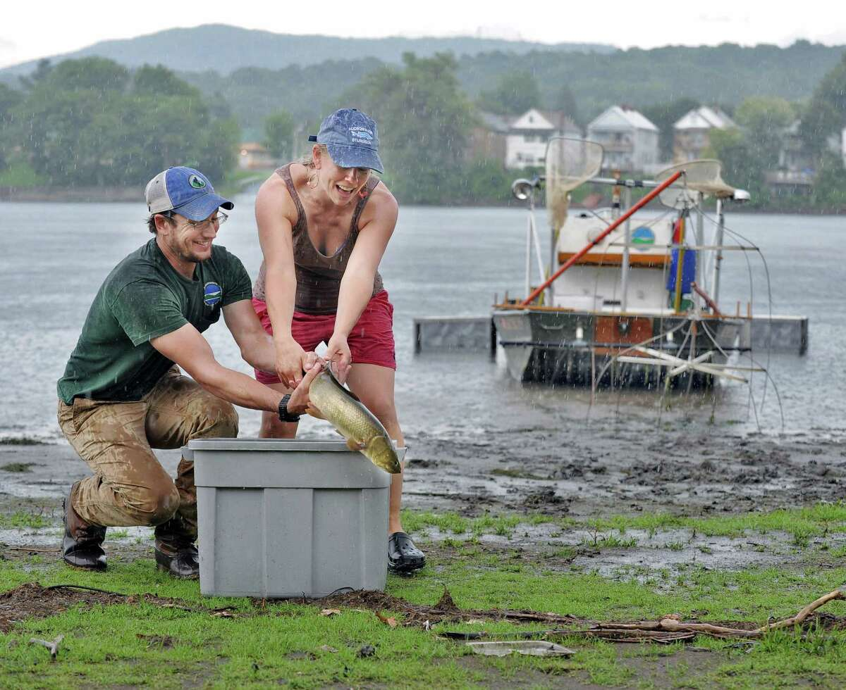 DEC fisheries technician Jason Smith, left, and DEC environmental science coordinator Rebecca Houser struggle to hold a large a bowfin in the pouring rain during the fourth annual Great Hudson River Estuary Fish Count at Peebles Island State Park Saturday, August 15, 2015 in Cohoes, NY. (John Carl D'Annibale / Times Union)