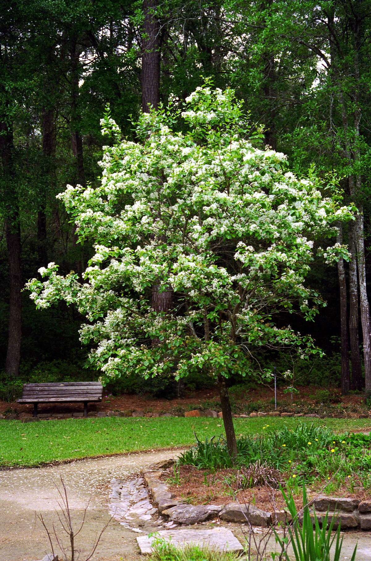 Chinese Fringe Tree at the Mercer Arboretum. 03/24/99. HOUCHRON CAPTION (01/18/2003): The Chinese fringe tree is a standout by the patio or in a larger landscape.