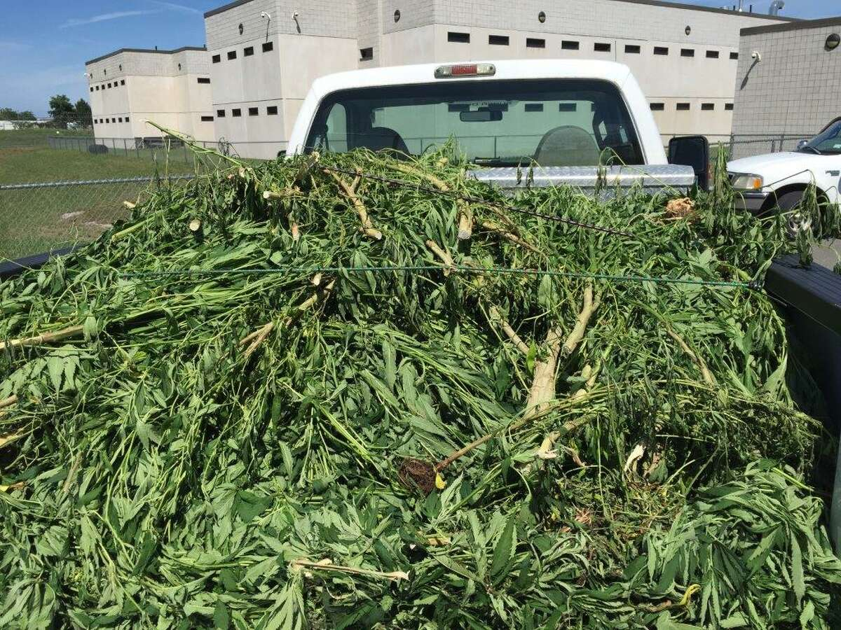 The Rensselaer County Sheriff's Office seized more than 600 marijuana plants in a eradication effort performed in conjuction with the New York State Police CNET and Aviation Units, Environmental Conservation officers, Rensselaer County probation officers and the Counter Drug Aviation Unit. (Rensselaer County Sheriff's Office photo)