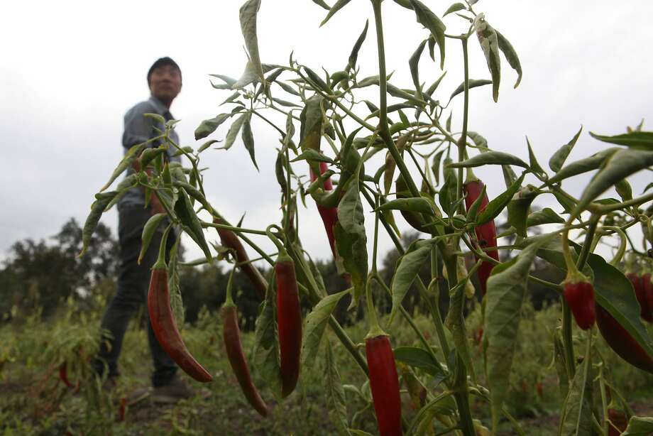 Kristyn Leach walking by her gochu (Korean chile) at Namu's farm in Sunol. Photo: Liz Hafalia, The Chronicle