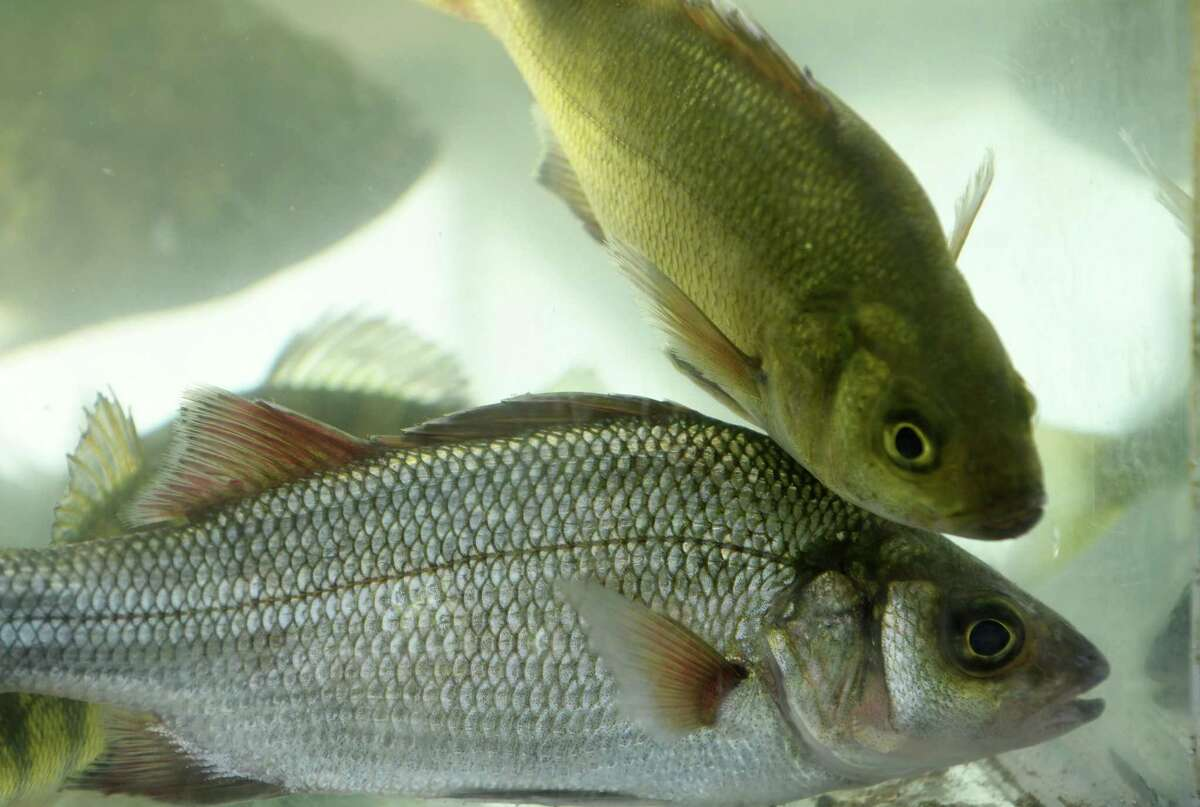 Netted fish on display in a tank during the NYS Office of Parks/Hudson River Estuary Program Naturalists coordinated DEC's Great Hudson River Estuary Fish Count at Peebles Island State Park on Saturday Aug. 13, 2016 in Waterford, N.Y. (Michael P. Farrell/Times Union)