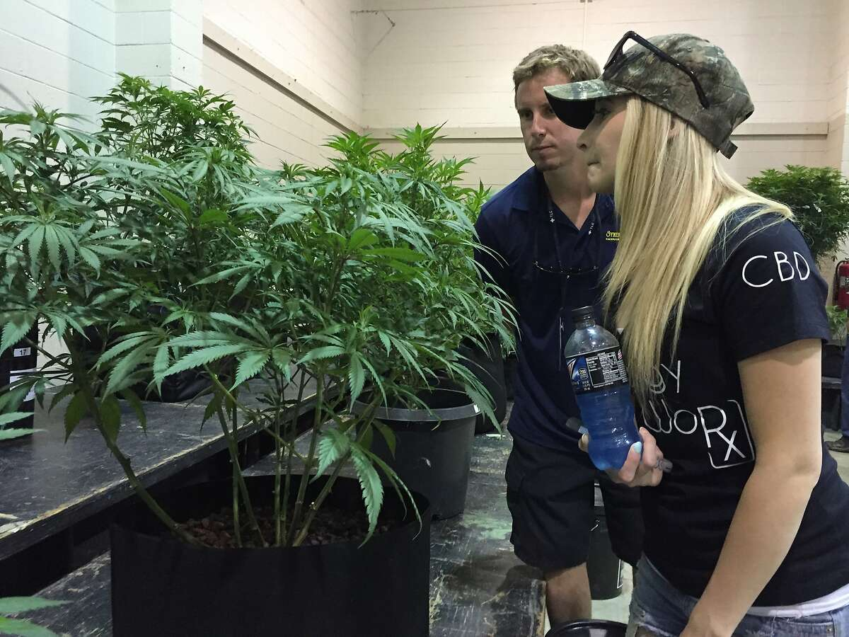 Greg Seybert, head farmer at marijuana grower Synergy Farms in Carver, Ore., inspects a marijuana plant with his girlfriend, Samantha Aune in Salem, Ore., Saturday, Aug. 13, 2016. In a sign of how mainstream the once-illicit marijuana industry is becoming in Oregon, one of four states to have legalized it, exhibitors are heading to the state capital to set up for the inaugural Oregon Cannabis Grower's Fair running through the weekend. (AP Photo/Gillian Flaccus)