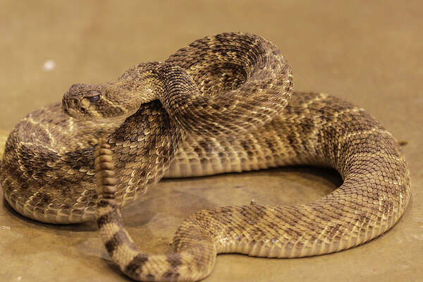 A rattlesnake shakes its tail as it's on display with Joe Martin's Snakes of Texas booth at  the Hunter's Extravaganza  at NRG Center on  Saturday, Aug. 13, 2016, in Houston.
