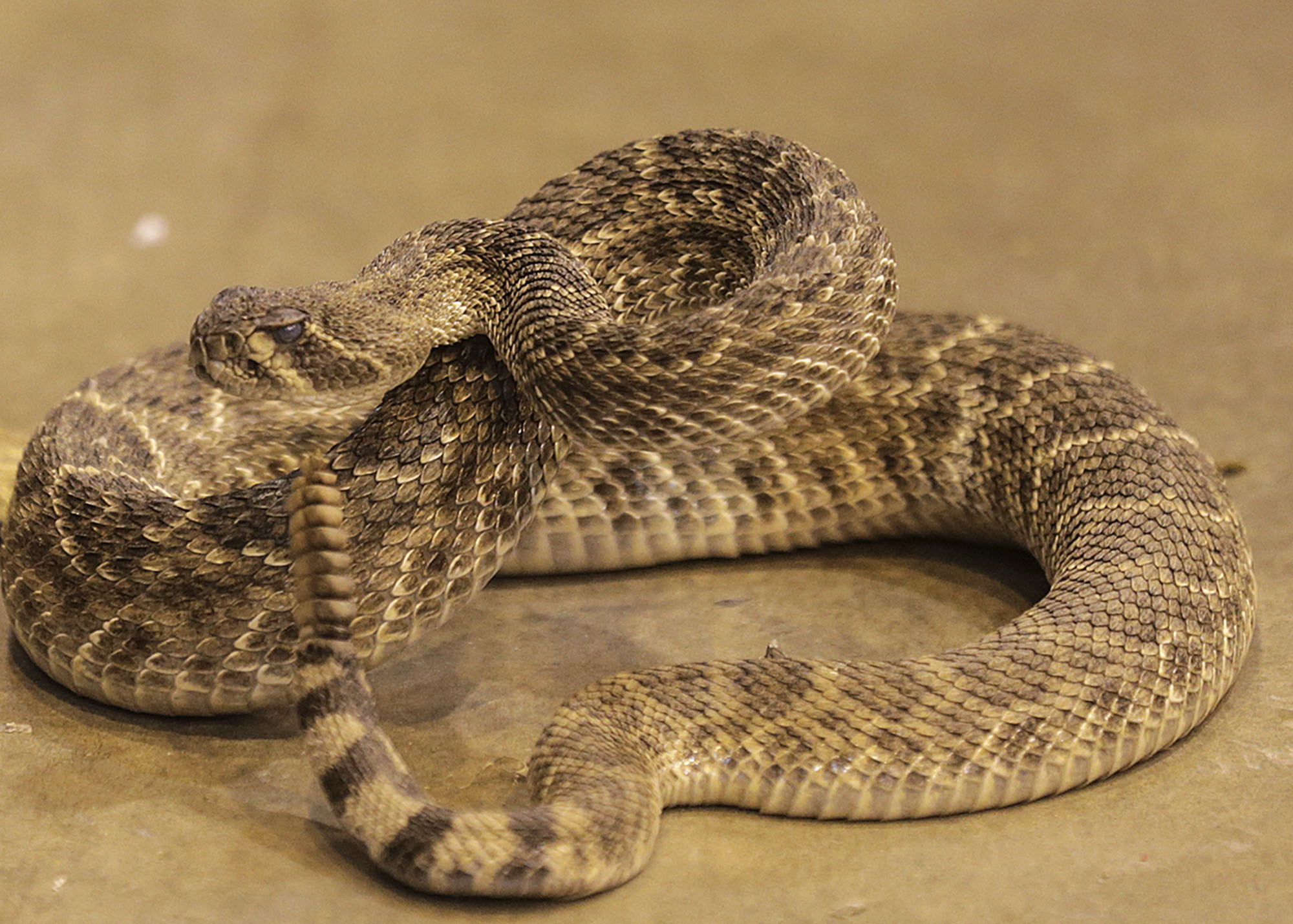 The Texas Town That S Bombarded With Rattlesnakes San