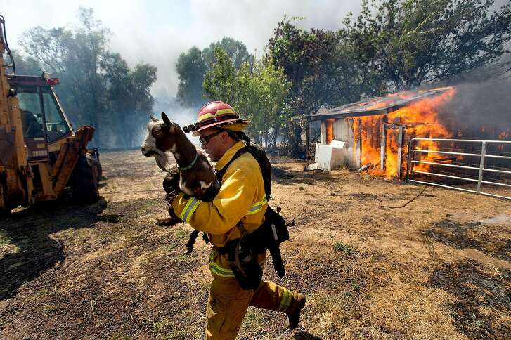 A firefighter rescues livestock as the Clayton Fire tears down Bonham Road in Lower Lake, Calif., on Sunday, Aug. 14, 2016.