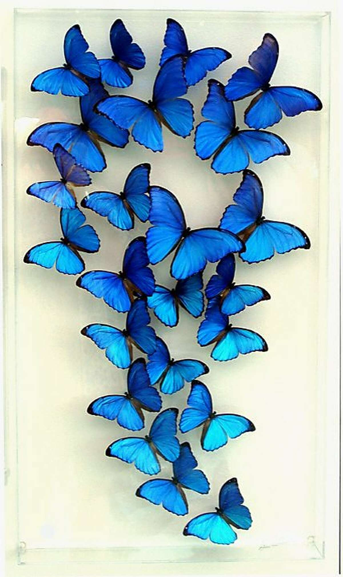 Butterflies enclosed in an acrylic case by Steven Albaranes will be featured at the art fair Burlingame on the Avenue this weekend.