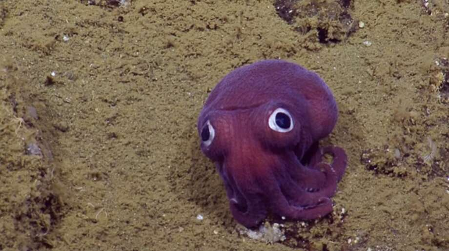 The crew of the Exploration Vehicle Nautilus has discovered a stubby squid with googly eyes that nearly look painted on, Aug. 16, 2016.According to the Nautilus crew the stubby squid – looking like a cross between an octopus and a squid, but more closely related to a cuttlefish – was found off the coast of California. Photo: Nautilus Live
