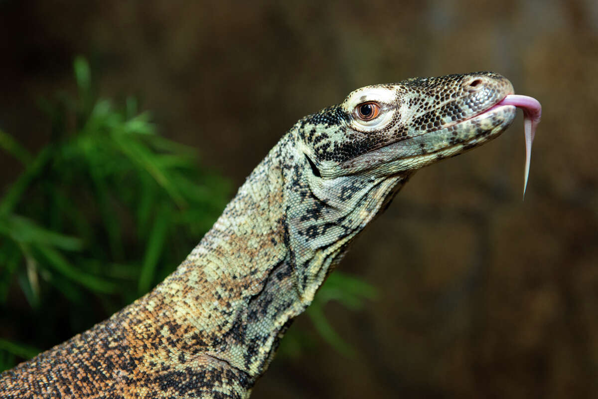 The Houston Zoo recently let one of its newer residents, Phoenix the Komodo dragon, get some sun and face time with zoo visitors. Phoenix, just 2 years old, has lived behind the scenes at the zoo, getting acclimated to his surroundings, Aug. 16, 2016.
