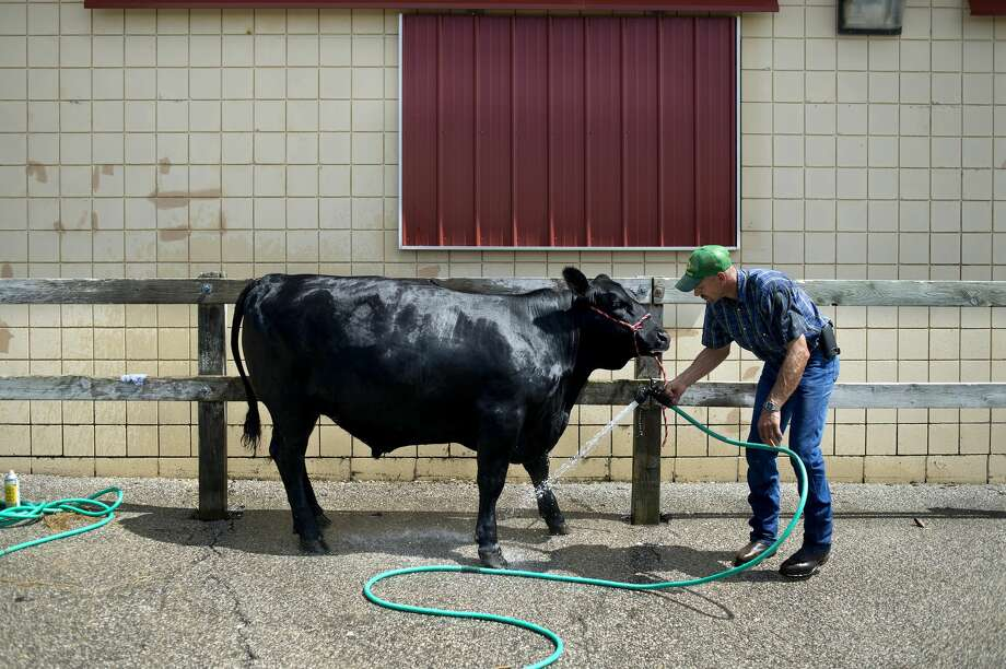 Richard Miller of Coleman hoses down Sparkles, the steer, at the Midland County Fair. Photo: Brittney Lohmiller/Midland Daily News/Brittney Lohmiller, Brittney Lohmiller/Midland Daily News