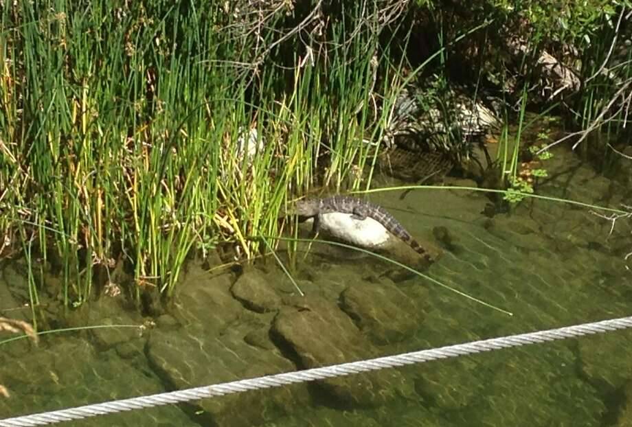 A state wildlife officer killed this alligator, which authorities say posed a public danger. Photo: Courtesy California Dept. Of Fish And Wildlife