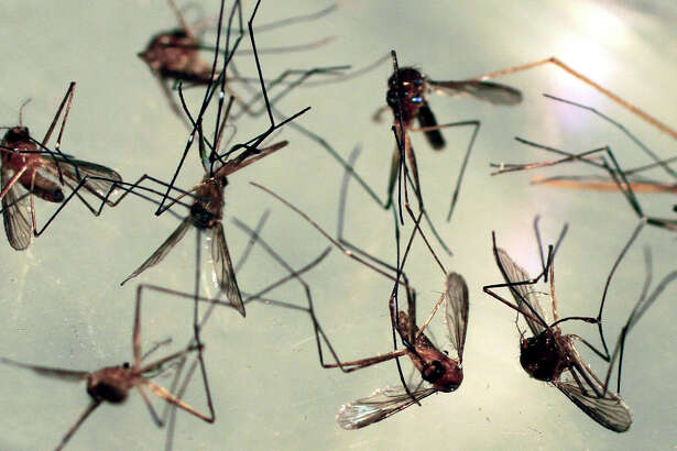 In this Wednesday, Sept. 8,  2010 photo, Cattail mosquitos are seen in a petri dish for inspection at the Maine Medical Center Research Institute in South Portland, Maine. Cattail mosquitos can transmit Eastern equine encephalitis and West Nile virus to humans. (AP Photo/Pat Wellenbach)