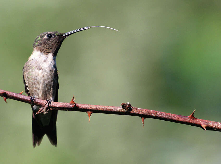 A Ruby-throated Hummingbird sticks out its tongue as it perches on a wild raspberry bush. Photo: Chris Bosak / Hearst Connecticut Media / The News-Times