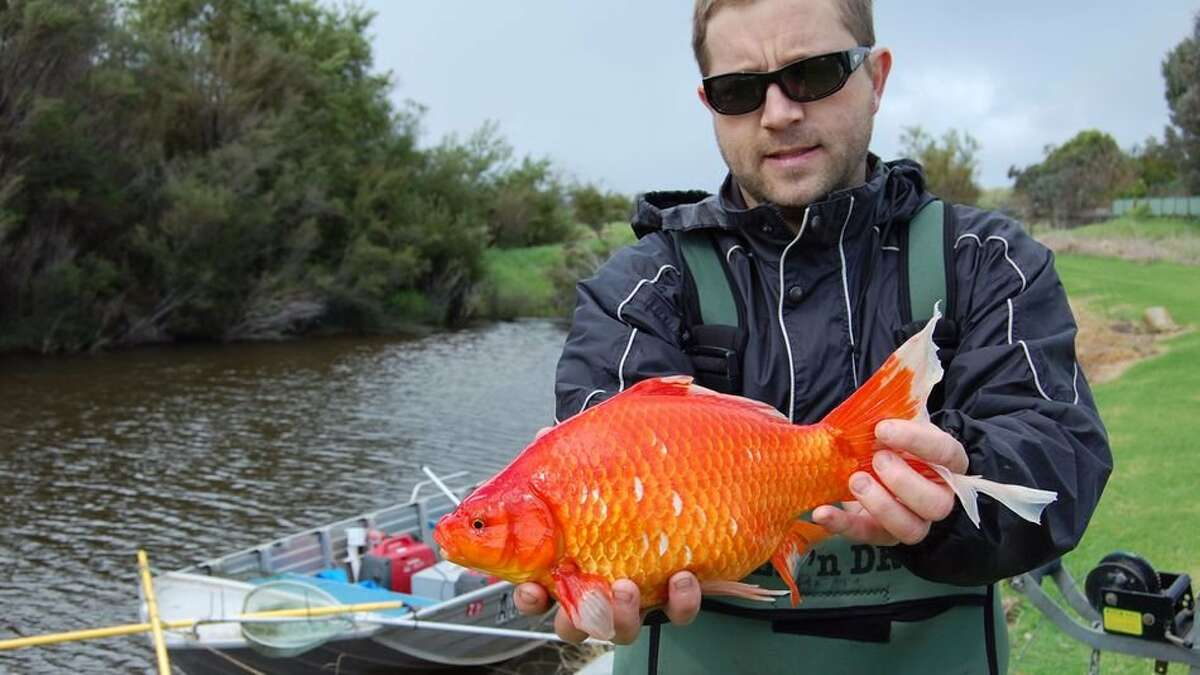 In April 2015, Colorado Parks and Wildlife officials faced an infestation of 4,000 goldfish in a lake in Boulder County a few years after someone was believed to have dumped a handful of pet goldfish into a nearby lake.