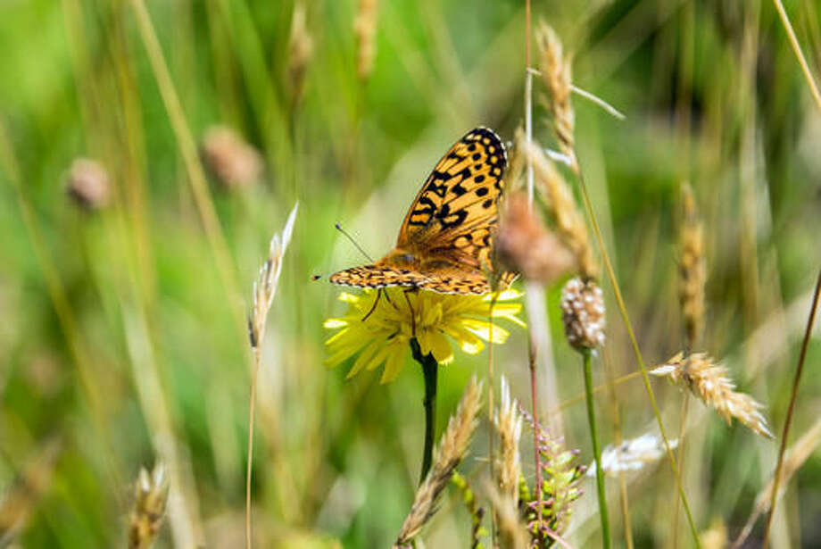 In this photo provided by The Oregon Zoo, a newly emerged Oregon silverspot butterfly alights in a meadow atop Mount Hebo, Ore., Aug. 3, 2016. Conservationists released the last of the summer's Oregon Zoo-reared silverspots in an attempt to boost the declining population of this imperiled Northwest beauty. (Kathy Street,/The Oregon Zoo via AP) Photo: Kathy Street