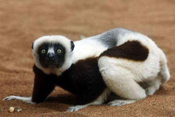 A Coquerel's sifaka eats a peanut in its new exhibit at the San Francisco Zoo in San Francisco, California, on Wednesday, August 17, 2016.