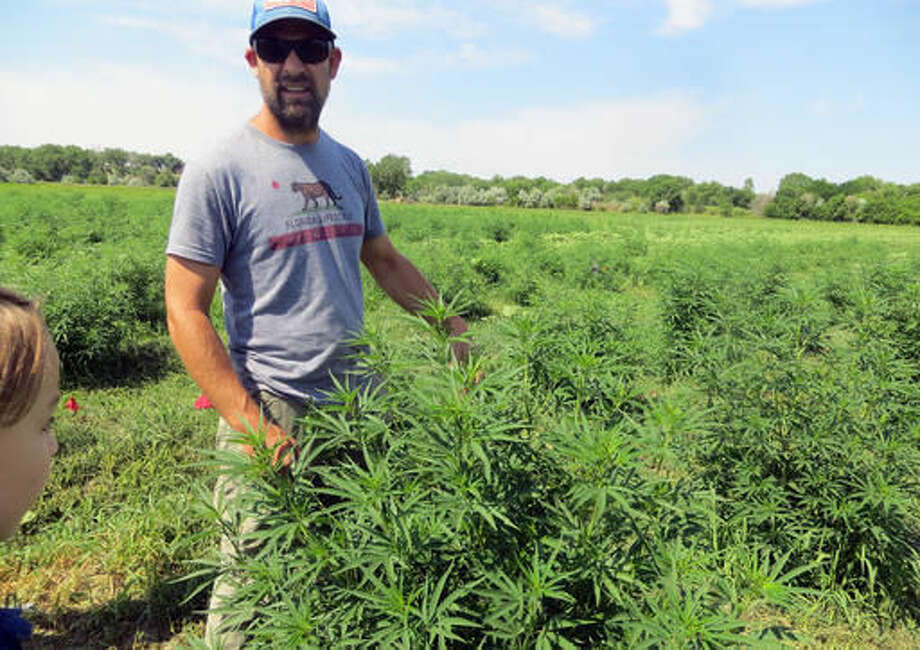 In this June 23, 2016, photo, farmer Will Cabaniss stands with his crop on his 20-acre hemp farm in Pueblo, Colo. Three years into the nation's hemp experiment, the crop's hazy market potential is starting to come into focus. Most of it is being pressed for therapeutic oils, not processed into rope or fabric or more traditional products. Authorized for research and experimental growth in the 2014 Farm Bill, hemp is being grown this year on about 6,900 acres nationwide, according to industry tallies based on state reports. (AP Photo/Kristen Wyatt) Photo: Kristen Wyatt
