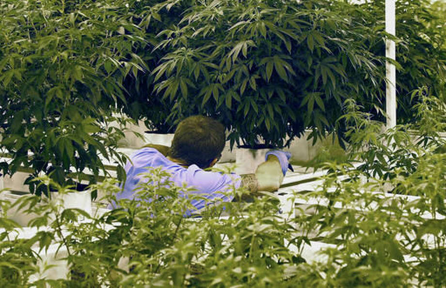 FILE - In this June 17, 2015, file photo, an employee checks a plant at LeafLine Labs, a medical marijuana production facility in Cottage Grove, Minn. Leafline Labs., one of two licensed medical marijuana manufacturers, lost millions of dollars in their first full year of operations, according to financial documents obtained by The Associated Press. (AP Photo/Jim Mone, File) Photo: Jim Mone