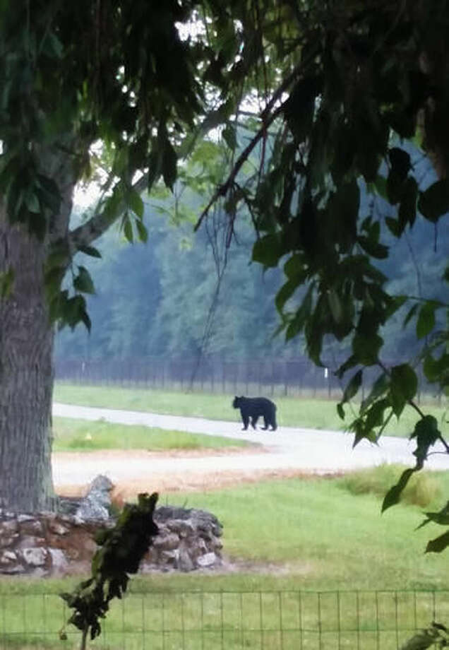 In this Tuesday, Aug. 9, 2016, photo provided by Evan Sporleder, a black bear walks on a street near Sporleder's home in North Vernon, Ind. Indiana wildlife experts say black bear sightings likely will become more common in southern Indiana. (Evan Sporleder via AP) Photo: Evan Sporleder