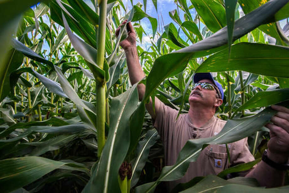 In this Aug. 8, 2016 photo, Scott Burroughs works his way methodically through his Deer Creek cornfield to follow the guidelines for gathering corn samples as agricultural experts spread out across the local area to assess the health and yield of the local corn crop, breaking up in pairs to count ears of corn in area fields following a randomized protocol.(Fred Zwicky/Journal Star via AP) Photo: Fred Zwicky