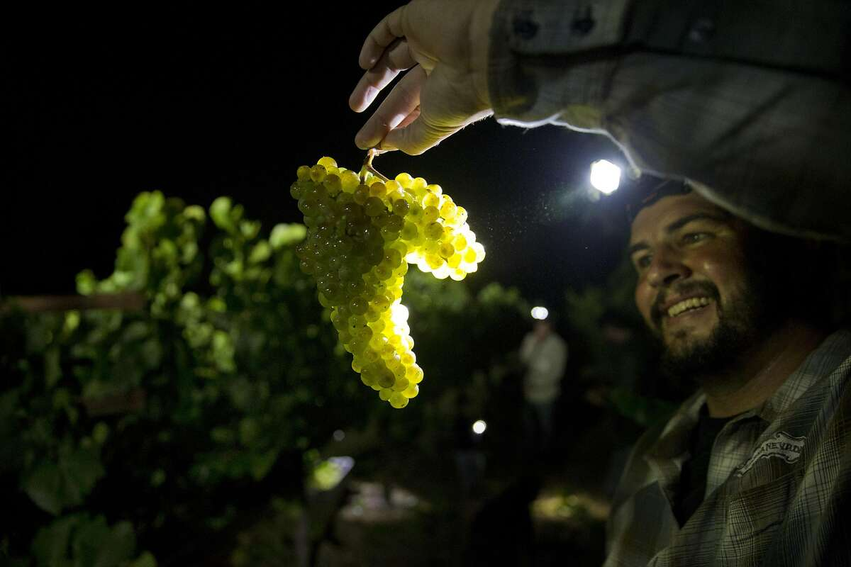 Chris Hyde holds a bunch of grapes during the overnight 2016 wine grape harvest at Hyde Vineyards in Carneros in Napa, Calif., on Wednesday, August 17, 2016. The Hyde's were harvesting the chardonnay grapes overnight to have them at the wineries at 7 a.m. The practice of overnight harvesting has grown over the past five years in the region.