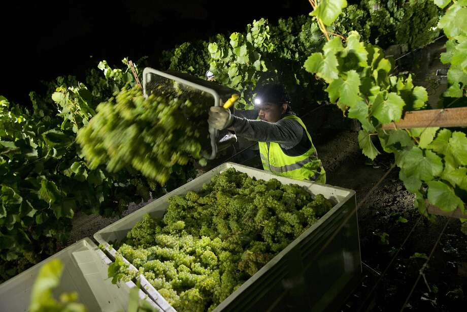 David Marquez dumps his bin of grapes into the transport crates during Hyde Vineyards' overnight harvest. Photo: Carlos Avila Gonzalez, The Chronicle