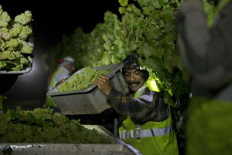 A worker squeezes his way alonside the tranpsport crates to dump some grapes during the overnight 2016 wine grape harvest at Hyde Vineyards in Carneros in Napa, Calif., on Wednesday, August 17, 2016. The Hyde's were harvesting the chardonnay grapes overnight to have them at the wineries at 7 a.m.  The practice of overnight harvesting has grown over the past five years in the region.