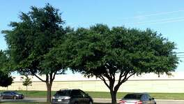 Genetics give these live oaks different shapes. Pruning a low spreading live oak, such as the one on the right, will not change its natural growth.