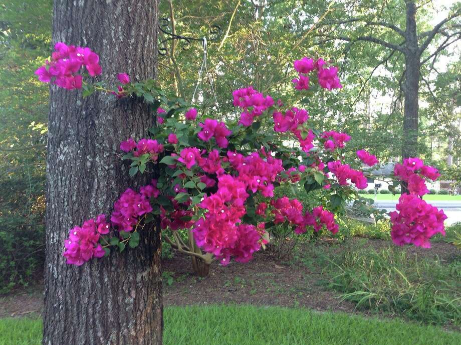 Bougainvillea, which likes to be rootbound, makes a pretty hanging basket. Photo: File Photo