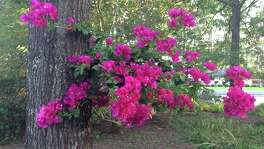 Bougainvillea, which likes to be rootbound, makes a pretty hanging basket.