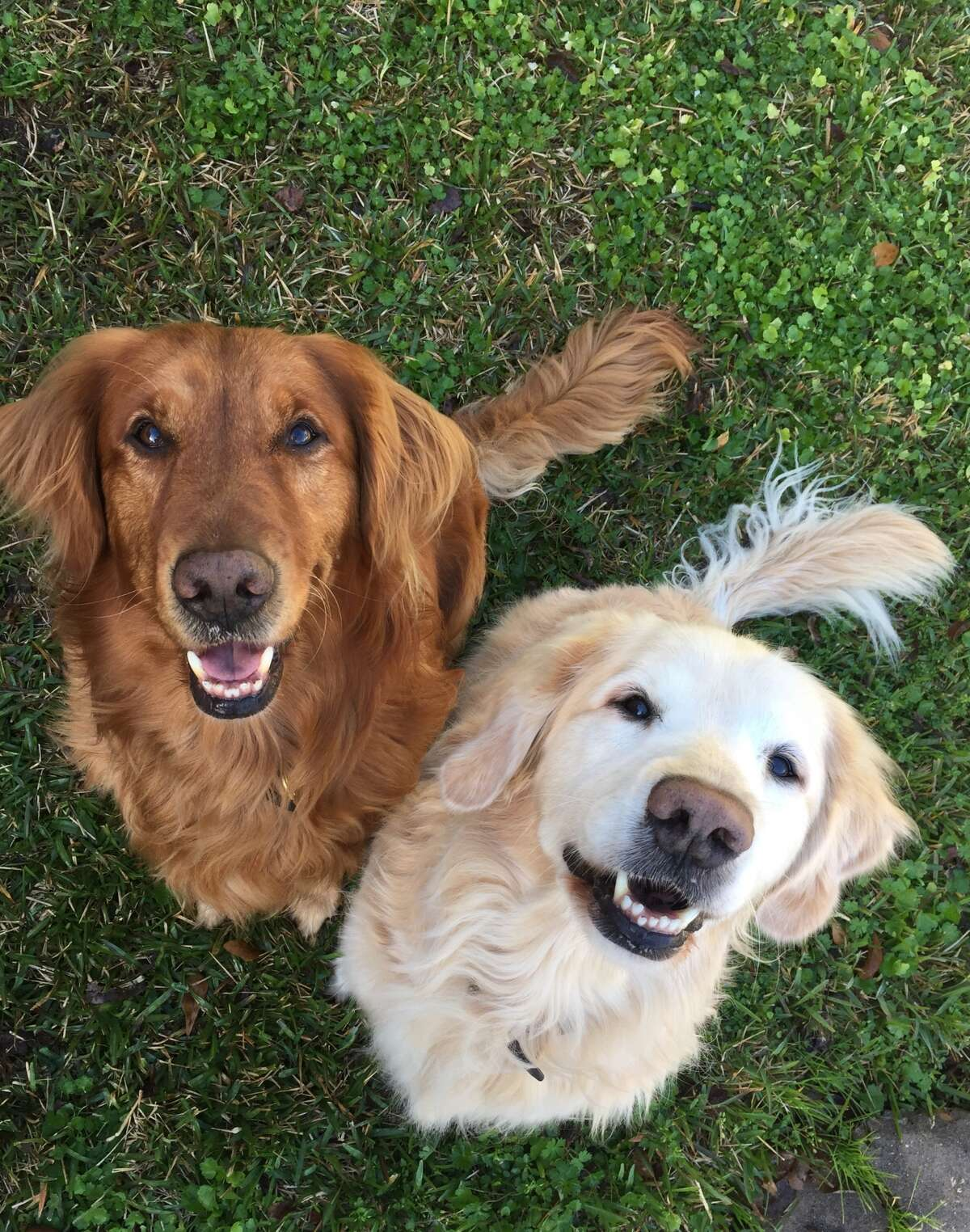 Golden retrievers Goose, left, and Butters are mascots for Apartment Butler, a mobile app that enables residents to book dog walkers and other services at their apartments. The service is used at 40 communities and will be expanding after raising $750,000 in seed funding, with more than 90 percent of it coming from investors from the apartment industry.