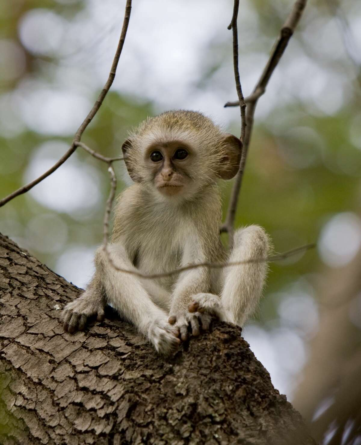South Houston A monkey that reportedly attacked two people in July in South Houston was never found. The monkey (not pictured here; this is a file image) jumped into the vehicle of a man who was trying to take a photo and injured the driver and his granddaughter.