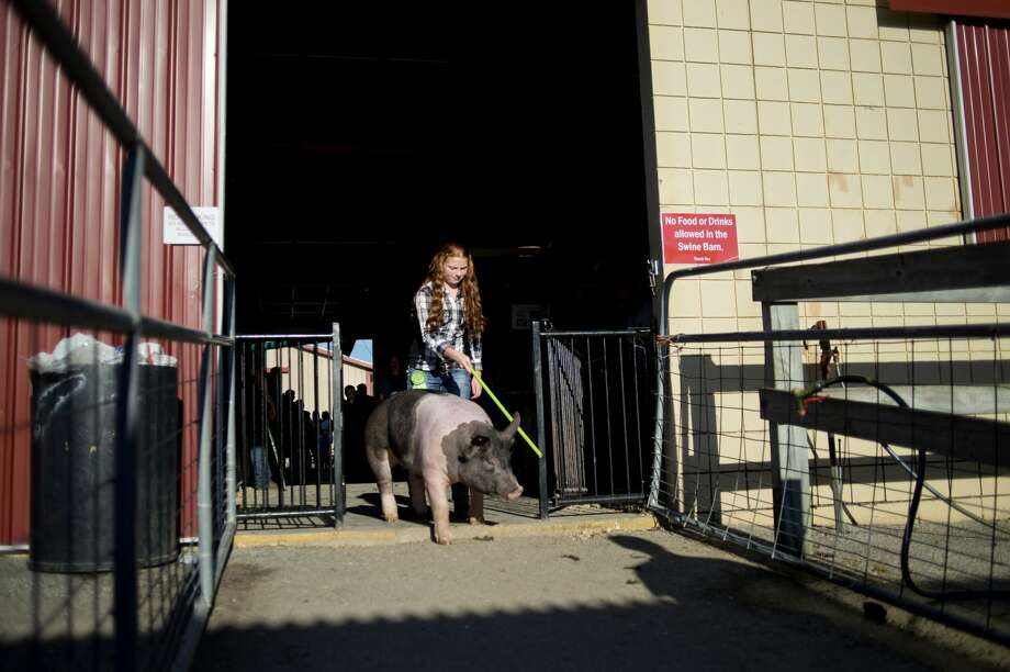Addison Buda, 13, of Midland guides her pig, Elvis, towards the Glover Arena during the large animal auction at Midland County Fairgrounds Thursday evening. Photo: Brittney Lohmiller/Midland Daily News
