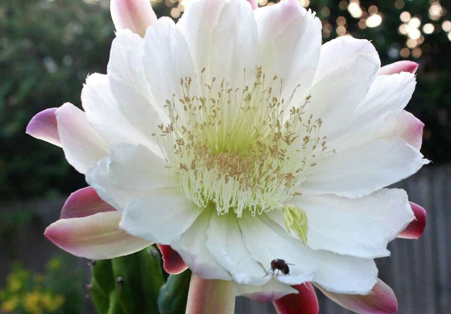 """Cereus peruvianus: Mark Baacke, Friendswood.  """"Each flower opens for only one night, beginning shortly after dark, and is completely closed by about 8 am. The six plants in my garden have had buds or flowers on them since early June."""" Photo: Mark Baacke"""