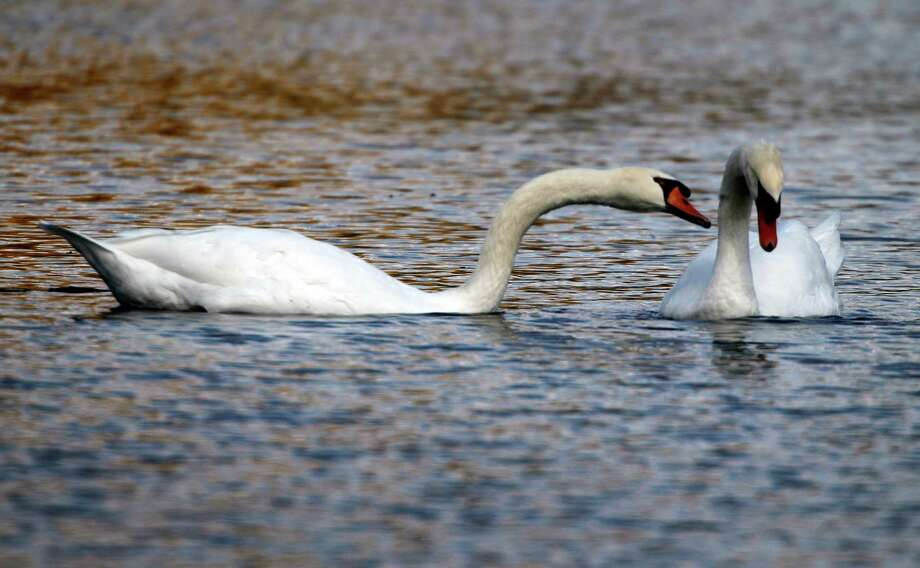 FILE - In a Oct. 6, 2012 file photo, two mute swans swim along a pond in Zelienople, Pa. Months after Connecticut environmental officials killed a swan they determined to be aggressive, Connecticut is taking steps to better inform the public about nesting sites so people can avoid coming in contact with the birds.  (AP Photo/Keith Srakocic, File) Photo: Keith Srakocic / Associated Press / Copyright 2016 The Associated Press. All rights reserved. This material may not be published, broadcast, rewritten or redistribu
