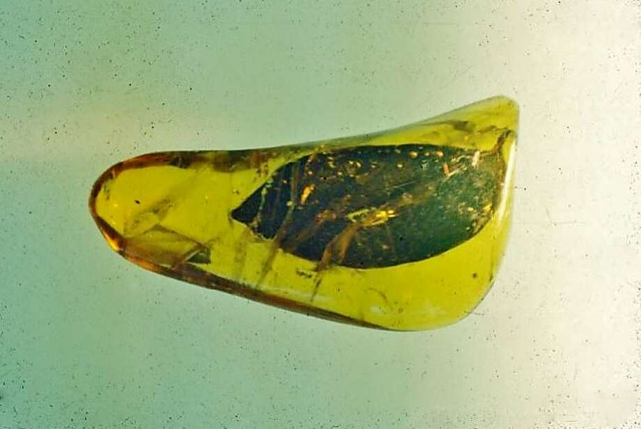 A yeast strain found in this bit of amber that's 45 million years old has been used to craft a saison brewed by Fossil Fuels Brewing Co. and Schubros Brewery. Photo: Courtesy Fossil Fuels Brewing Company