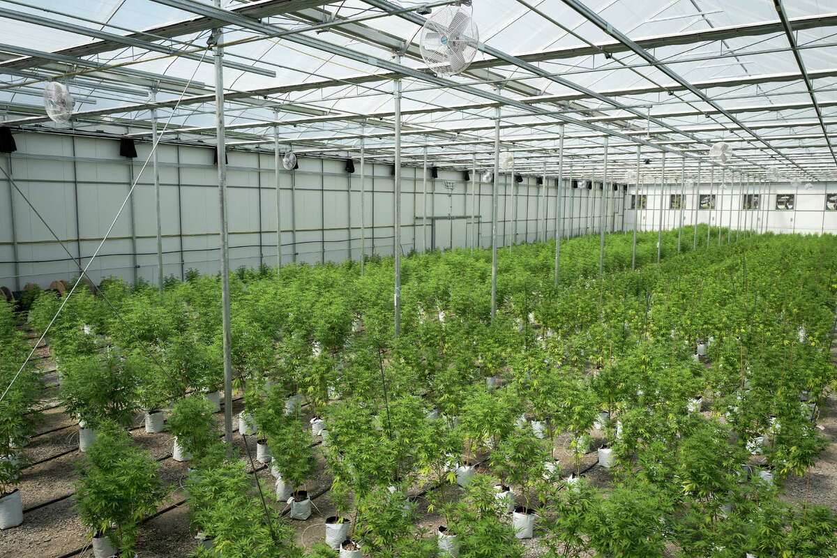 Rows of cannabis plants grow at Vireo Health's medical marijuana cultivation facility in New York.