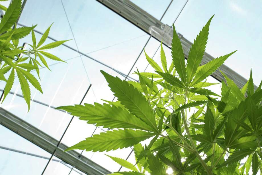 JOHNSTOWN, NY - AUGUST 19: Cannabis plants grow in the greenhouse at Vireo Health's medical marijuana cultivation facility, August 19, 2016 in Johnstown, New York. New York state lawmakers voted to legalize marijuana for medical use in 2014 and the law took effect in January 2016. Currently, five organizations are allowed to grow and sell the drug for medical use in the state. New York's new law only allows people with 'severe debilitating or life threatening conditions' to obtain marijuana for medical use. Photo: Drew Angerer, Getty Images / 2016 Getty Images