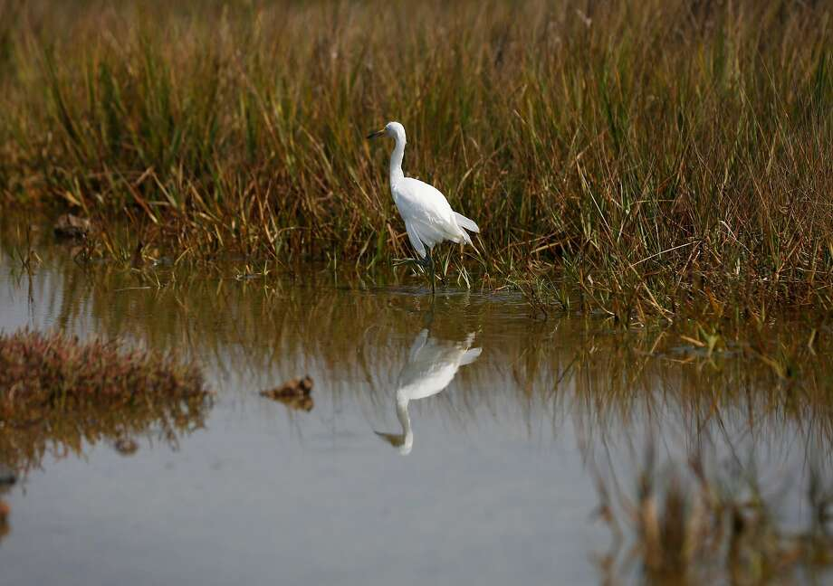 A young snowy egret wades around its new environment after being released in the restored march area of the Martin Luther King Jr. Regional Shoreline August 19, 2016 in Oakland, Calif. Photo: Leah Millis, The Chronicle